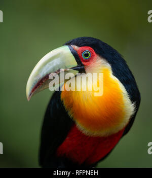 Red-breasted Toucan (Ramphastos dicolorus) from the Atlantic Rainforest - Stock Image