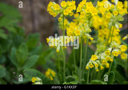 Cowslip plant background - Stock Image