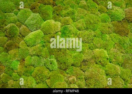 Green moss wall - Stock Image