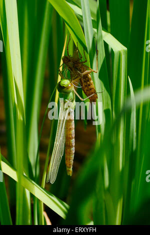 Dragonfly emerging from its nymph case on a summer morning, UK - Stock Image