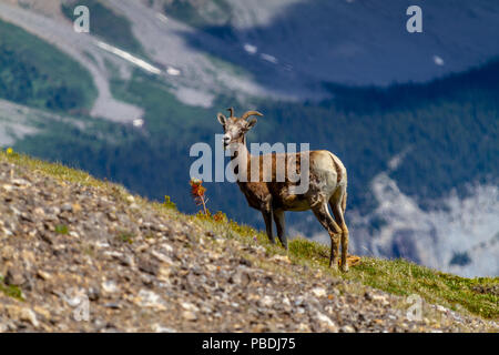 A mountain goat on the summit of Parker Ridge in Jasper National Park in the Canadian Rockies with Big Ben Peak in the background. - Stock Image