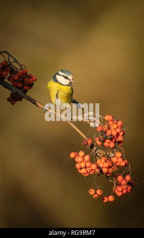 Blue tit ,Cyanistes caeruleusfeeding on rowan berries, winter in Oxfordshire. - Stock Image