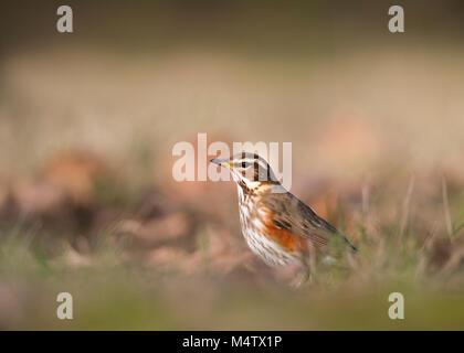 Redwing, (Turdus iliacus), on ground feeding, Regents Park, London, United Kingdom - Stock Image