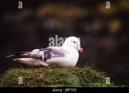 Fulmar, (Fulmarus glacialis), at rest, Farne Islands,National Trust Reserve, Northumberland, United Kingdom, British Isles - Stock Image