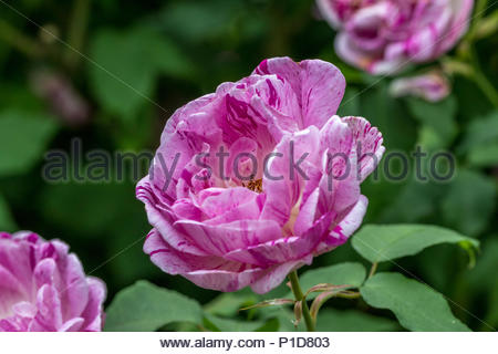 A pink pale red  fragrant double rose, with fleck of mauve and purple variety unknown. - Stock Image