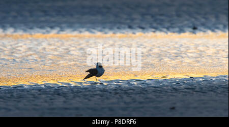 Abstract silhouette of a Red-capped Plover (Charadrius ruficapillus) wading on the beach at dawn, Cape York Peninsula, Far North Queensl - Stock Image