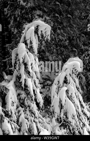 Close-up on snow-covered coniferous trees in Yosemite National Park, California, USA, bent with the weight of the snow, black and white rendering - Stock Image