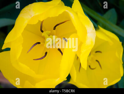 Top view of a yellow tulip looking down at the stamens and stigma - Stock Image
