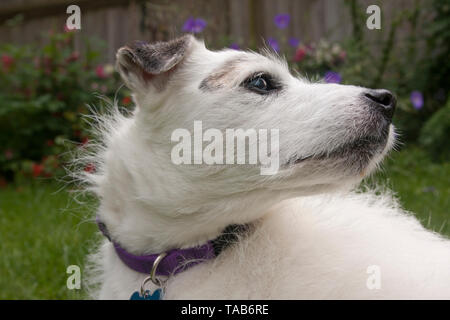 Jack Russell Terrier, Elderly white male, Head and shoulder profile looking sideways, England, UK - Stock Image