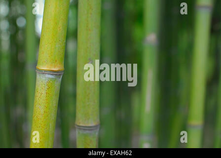 Bamboo Forest ,Green Stems and Leaves. - Stock Image