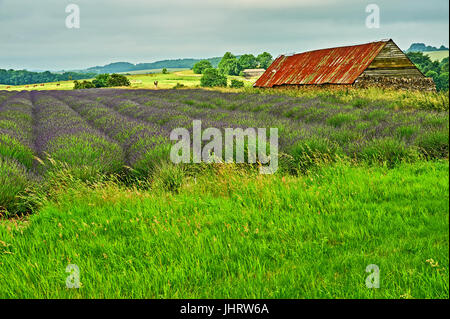 Lavender field in the Cotswolds, close to the village of Snowshill - Stock Image