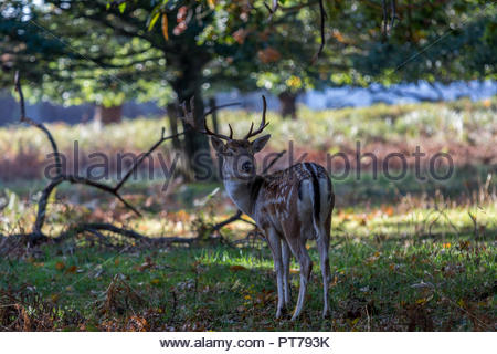 Bushy Park, Hampton, London. 7th October 2018. A fallow deer buck poses in the early morning sunshine. Credit: Images by Russell/Alamy Live News Credit: Images by Russell/Alamy Live News - Stock Image