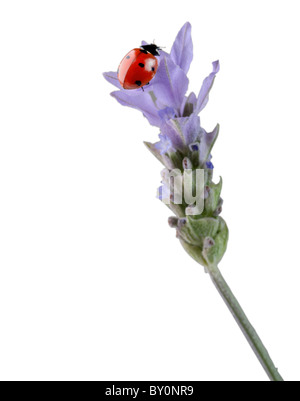 closeup of a ladybug on a lavender flower - Stock Image