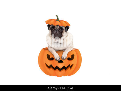 cute pug puppy dog sitting in carved pumpkin with scary face, wearing lid as hat, isolated on white background - Stock Image