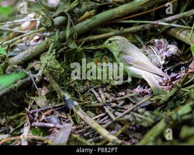 Phylloscopus trochiloides. The nest of the Greenish Warbler in nature. Russia, the Ryazan region (Ryazanskaya oblast), the Pronsky District, Denisovo. - Stock Image