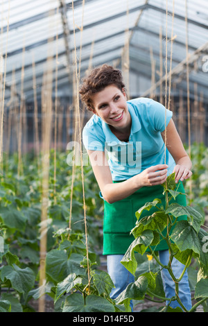 young woman working in greenhouse growing tomatoes - Stock Image