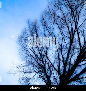 Bare tree and moon. - Stock Image