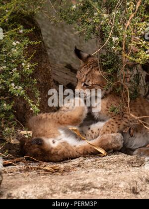 Two lynx cubs playing under a tree - Stock Image