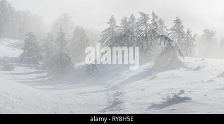 Gleize Pass (Col de Gleize), Champsaur, Hautes-Alpes, Alps, France: Wind blowing snow on the slopes and trees of Col de Gleize after a snowfall - Stock Image