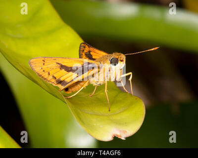 Skipper Butterfly on foliage, Cairns, Far North Queensland, FNQ, QLD, Australia - Stock Image