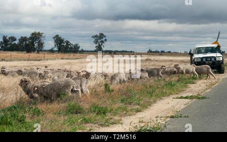 Herding sheep in the Wimmera region, Victoria, Australia - Stock Image