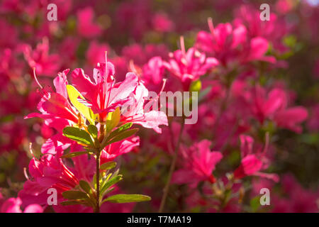Pink flowers on an azalea bush growing in the shade in north east Italy - Stock Image