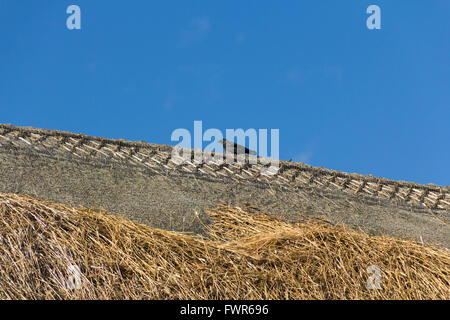 Jackdaw perched on the apex of a damaged thatched roof.The thatch has been pulled apart and damaged by jackdaws. - Stock Image