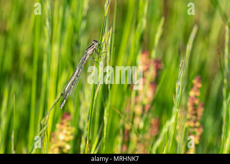 Immature blue-tailed damsel fly resting on grass - Stock Image
