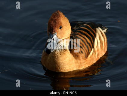 Swimming Fulvous whistling duck (Dendrocygna bicolor) - Native to Tropical South America, Caribbean, East Africa and India - Stock Image