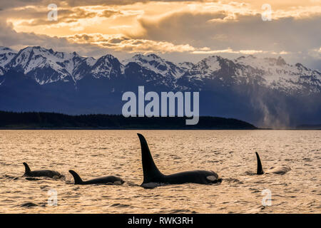 Orca whale (Orcinus orca) pod in Lynn Canal, Inside Passage, with Chilkat Mountains in the background, Southeast Alaska - Stock Image