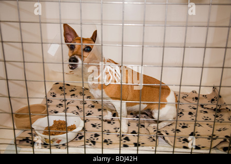 Dog in a Veterinary Hospital with an Elizabethan collar - Stock Image