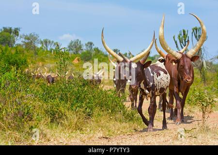 Ankole Cattle Cows, Lake Mburo, Uganda, East Africa - Stock Image