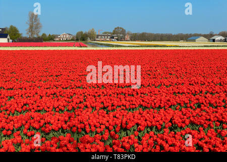 Lisse, Holland - April 18, 2019: Traditional Dutch tulip field with rows of red and white flowers and houses in the background - Stock Image