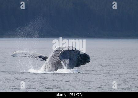 Humpback Whale breaching in Alaskan waters - Stock Image