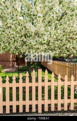 Off white wooden picket fence; Cherry Tree in full springtime bloom; Salida; Colorado; USA - Stock Image