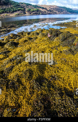 The shoreline boulder field and seaweed banks on the shores of Loch Sunart in the Highlands of Scotland - Stock Image