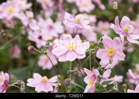 Japanese Anemones flowering in late summer. - Stock Image