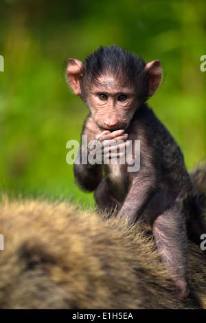 Baby Chacma baboon (Papio ursinus) riding on his mothers back, Lake Nakuru National Park, Kenya, Africa - Stock Image