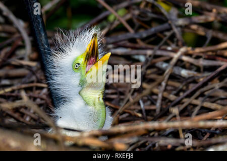 Great egret chick is hungry and wants to be fed. - Stock Image