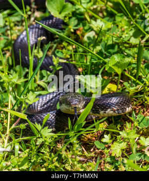 A female black rat snake, lying in grass with tongue extended. - Stock Image