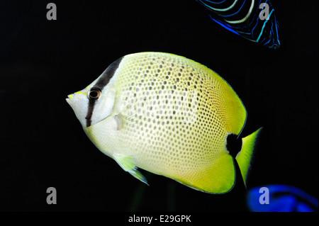 A milletseed butterflyfish at the Oregon Coast Aquarium in Newport, Oregon. - Stock Image