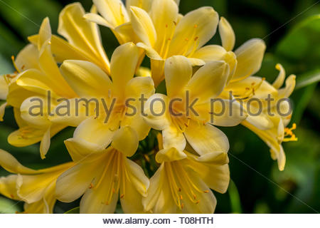 Close up blossom of Clivia x kewensis, Bodnant Yellow - Stock Image