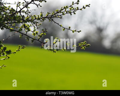 Hawthorn with thorns and young leaves in spring, Bedfordshire, England. UK - Stock Image