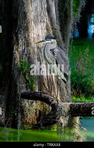Great Blue Heron is resting in it's habitat. - Stock Image