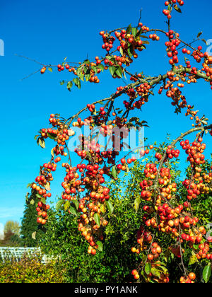 Crab apple tree detail showing heavy fruit in autumn covered in bright red fruit in Helmsley Walled Garden - Stock Image