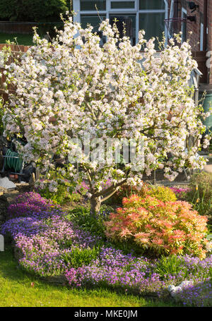 Malus domestica Egremont Russet, flowering in a suburban garden, north east England, UK - Stock Image
