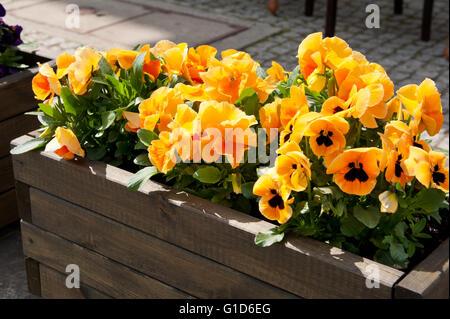 Abloom pansies exterior decoration, flowering orange yellow plants growing in wooden long flower box outside, Viola - Stock Image