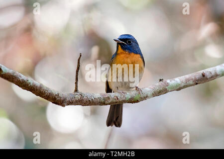 A male Chinese Blue Flycatcher (Cyornis glaucicomans) perched on a small branch in the forest in Eastern Thailand - Stock Image