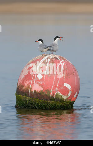 Pair of common terns (Sterna hirundo) perched on navigation buoy. Norfolk, England. May. - Stock Image