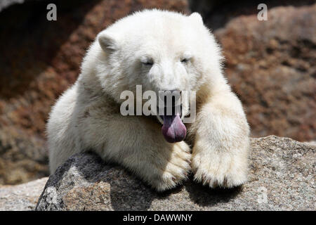 Polar bear cub 'Knut' yawns tiredly and presents his tongue at Berlin Zoo, Germany, 22 June 2007. Photo: - Stock Image